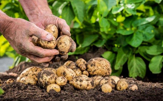 методика выращивания картофеля