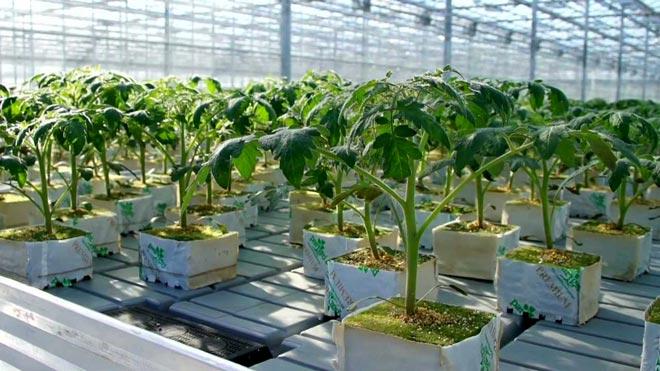 Выращивание помидоров в контейнерах