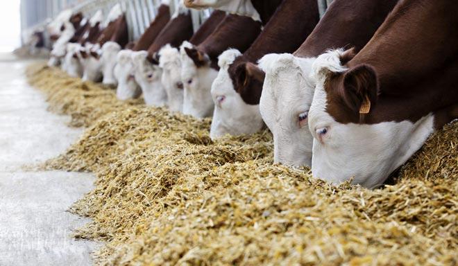 Инновационный подход к кормлению в животноводстве